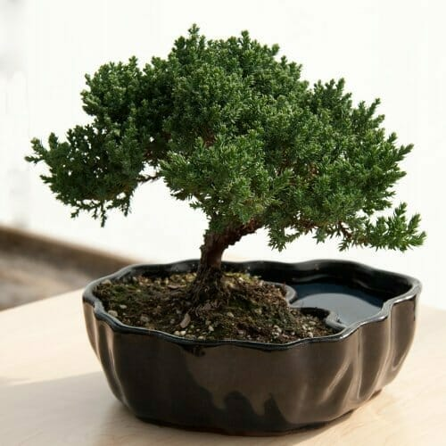 gifts for guys who have everything bonsai